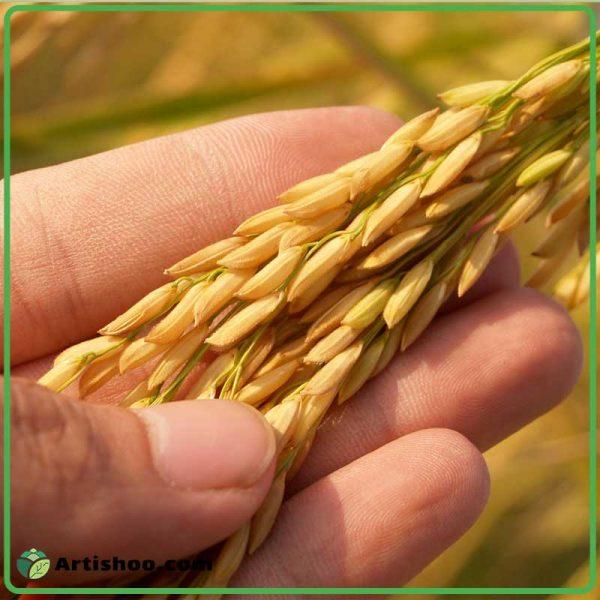 برنج ارگانیک چیست ؟